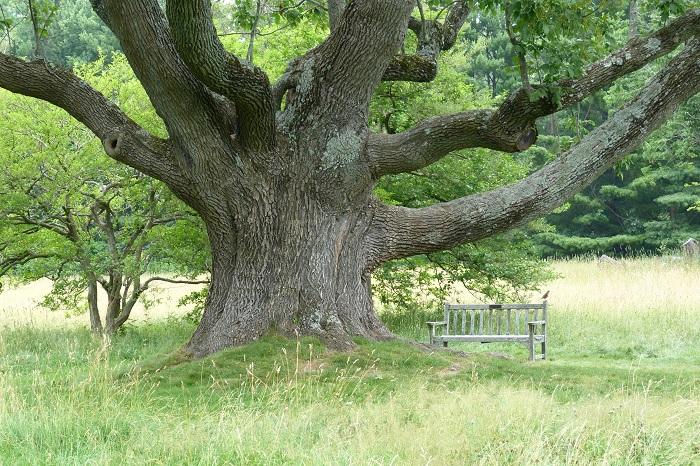 Cây gỗ tần bì